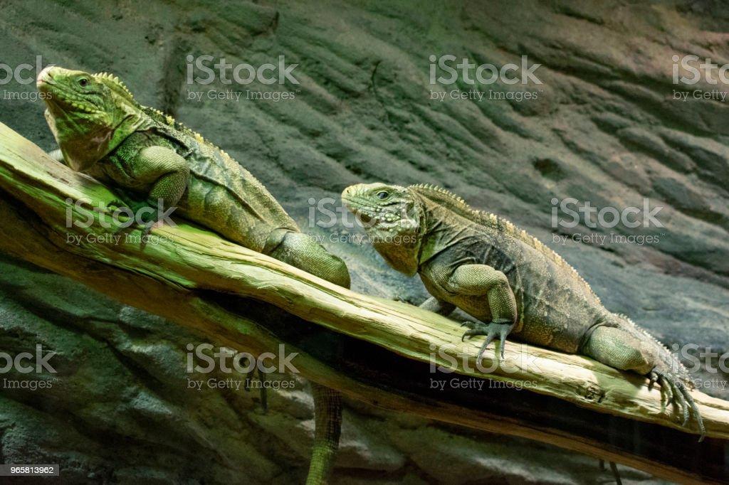 een paar van groene hagedissen, vergelijkbaar met draken, zitten op een boomtak en ontdek de relatie onderling - Royalty-free Baard Stockfoto