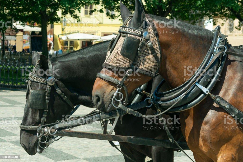 een paar van paarden in een close-up harnas staan op het plein voor toeristen - Royalty-free Boerderij Stockfoto