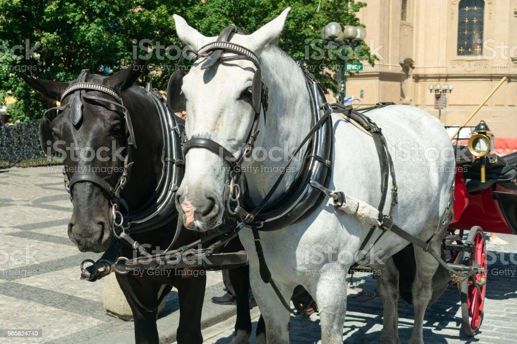 een paar van paarden, wit en zwart, in een close-up koets, staan op het plein voor toeristen - Royalty-free Boerderij Stockfoto