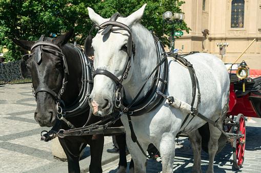 Een Paar Van Paarden Wit En Zwart In Een Closeup Koets Staan Op Het Plein Voor Toeristen Stockfoto en meer beelden van Boerderij