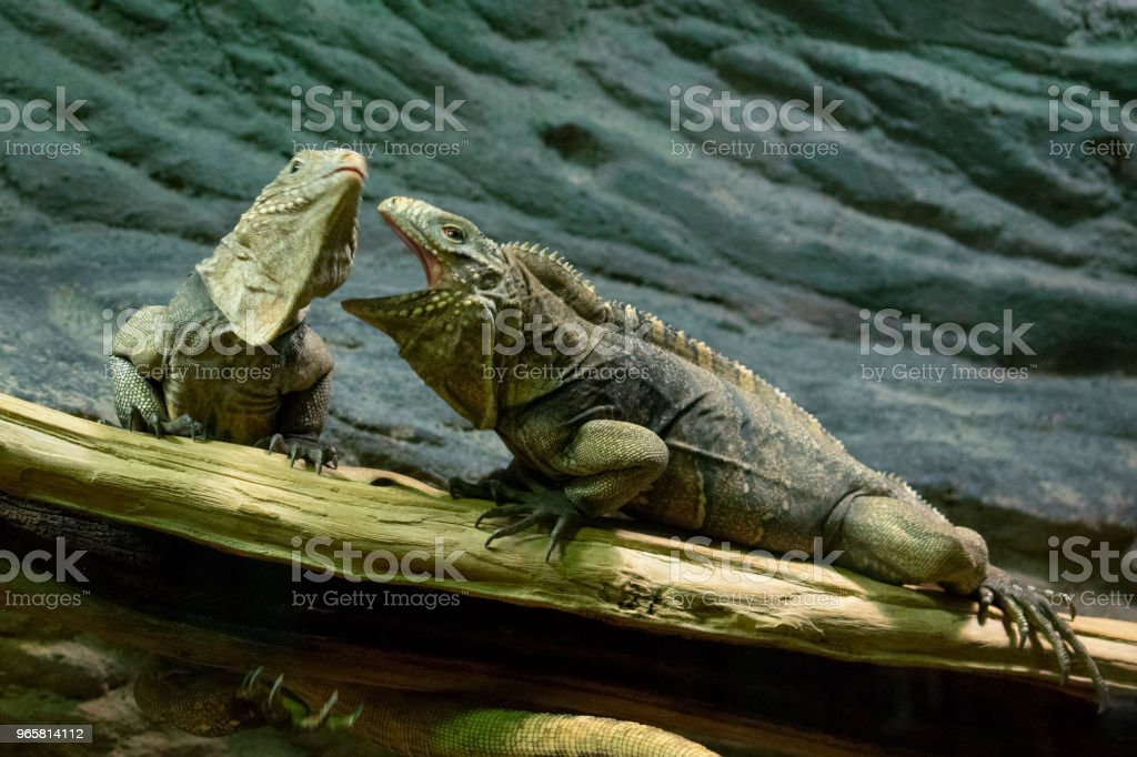a pair of lizards, similar to dragons, sit on a tree branch and find out the relationship between themselves - Royalty-free Animal Stock Photo