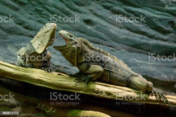 Ett Par Ödlor Liknar Drakar Sitta På En Trädgren Och Ta Reda På Förhållandet Mellan Själva-foton och fler bilder på Dinosaurie