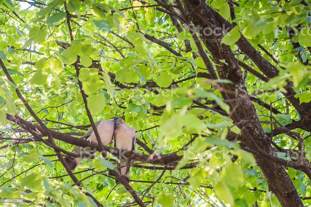 a pair of pigeons cooing among tree branches in the spring. Concept of love - Zbiór zdjęć royalty-free (Bezpieczeństwo)