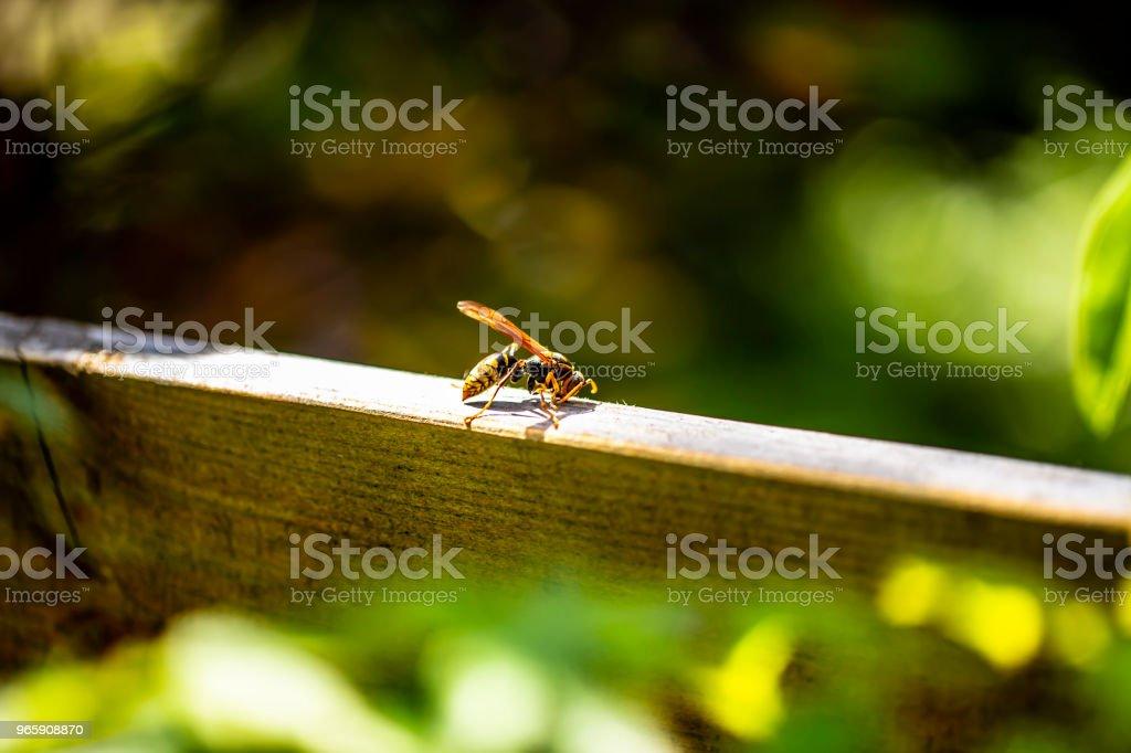 een papier wesp geïsoleerd op hout in de tuin. - Royalty-free Angels Stockfoto