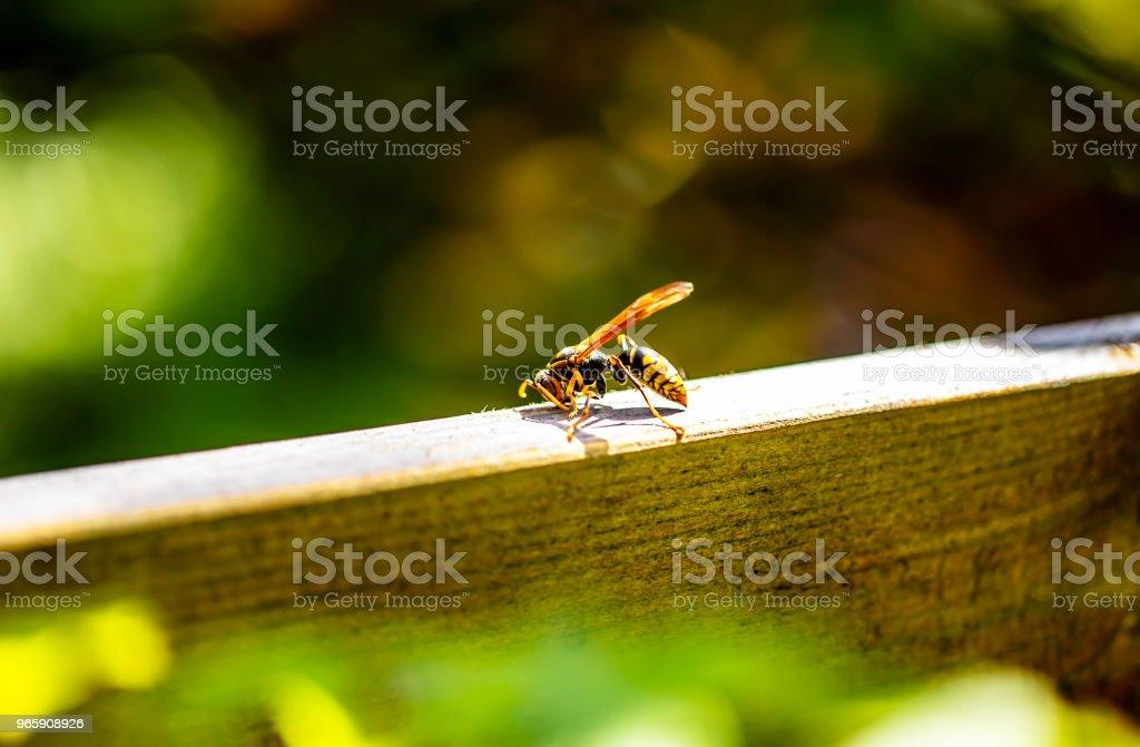 una avispa de papel aislada en madera en jardín. - foto de stock