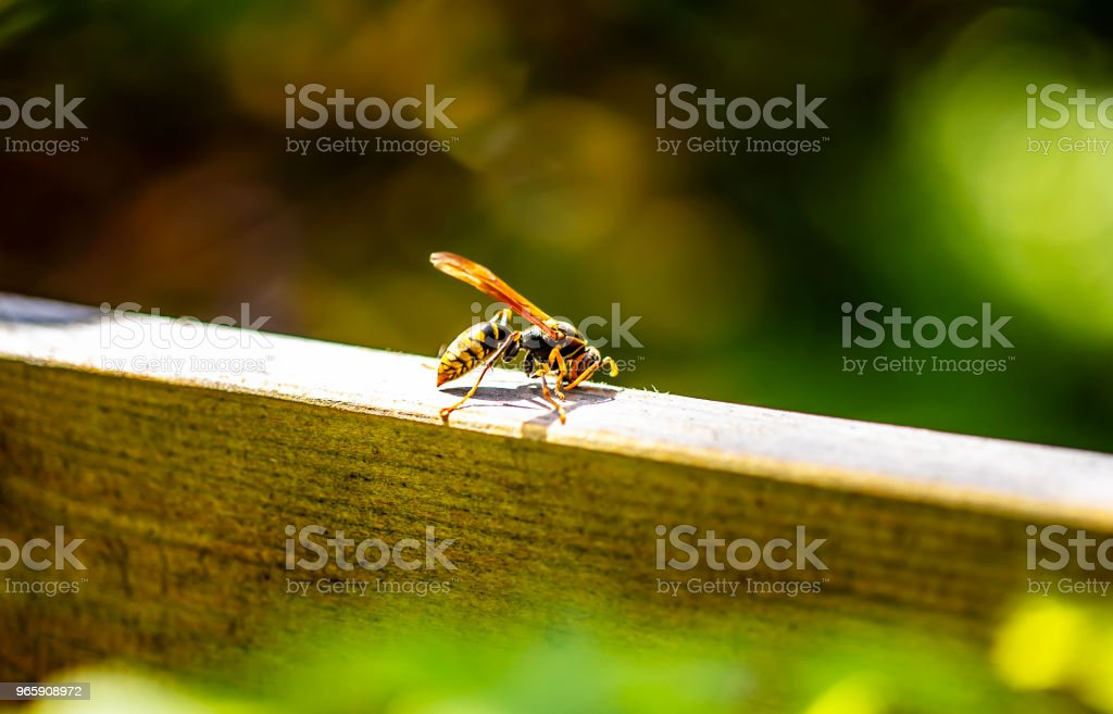 a paper wasp isolated on wood in garden. - Royalty-free Animal Stock Photo