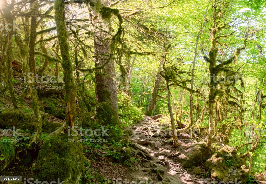 a path in thickets of dense forest in Adygea in summer with sunlight stock photo