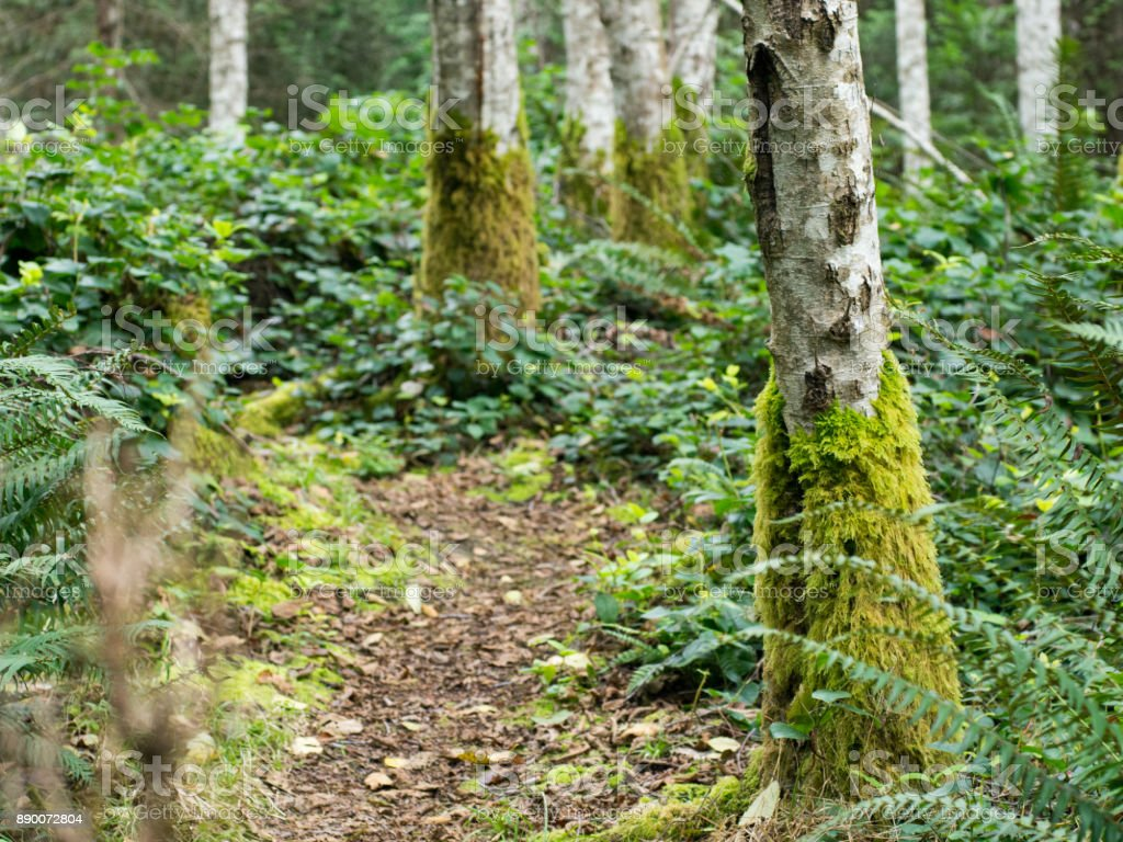 a path through moss covered birch trees stock photo