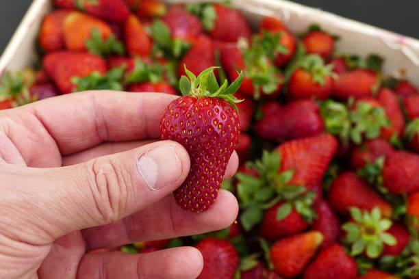 a person has strawberries in his hand, a wooden box full of strawberries at the market. stock photo