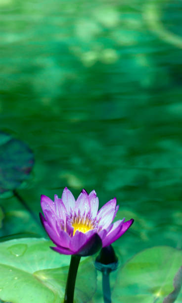 a pink lotus in the pond stock photo