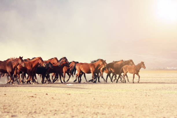 a plain with beautiful horses in sunny summer day in Turkey. Herd of thoroughbred horses. Horse herd run fast in desert dust against dramatic sunset sky. wild horses stock photo