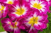 a plant of pink primroses, macro close up