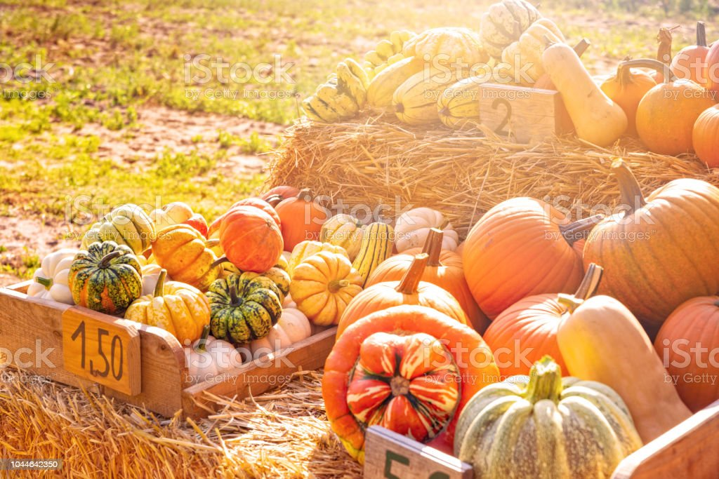 a pleasure for the eyes a pumpkin stall in the village stock photo