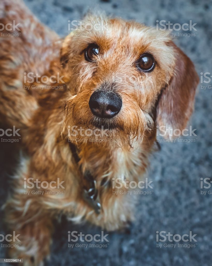 A Portrait Of A Cute Dachshund Dog On Grey Background Stock Photo Download Image Now Istock
