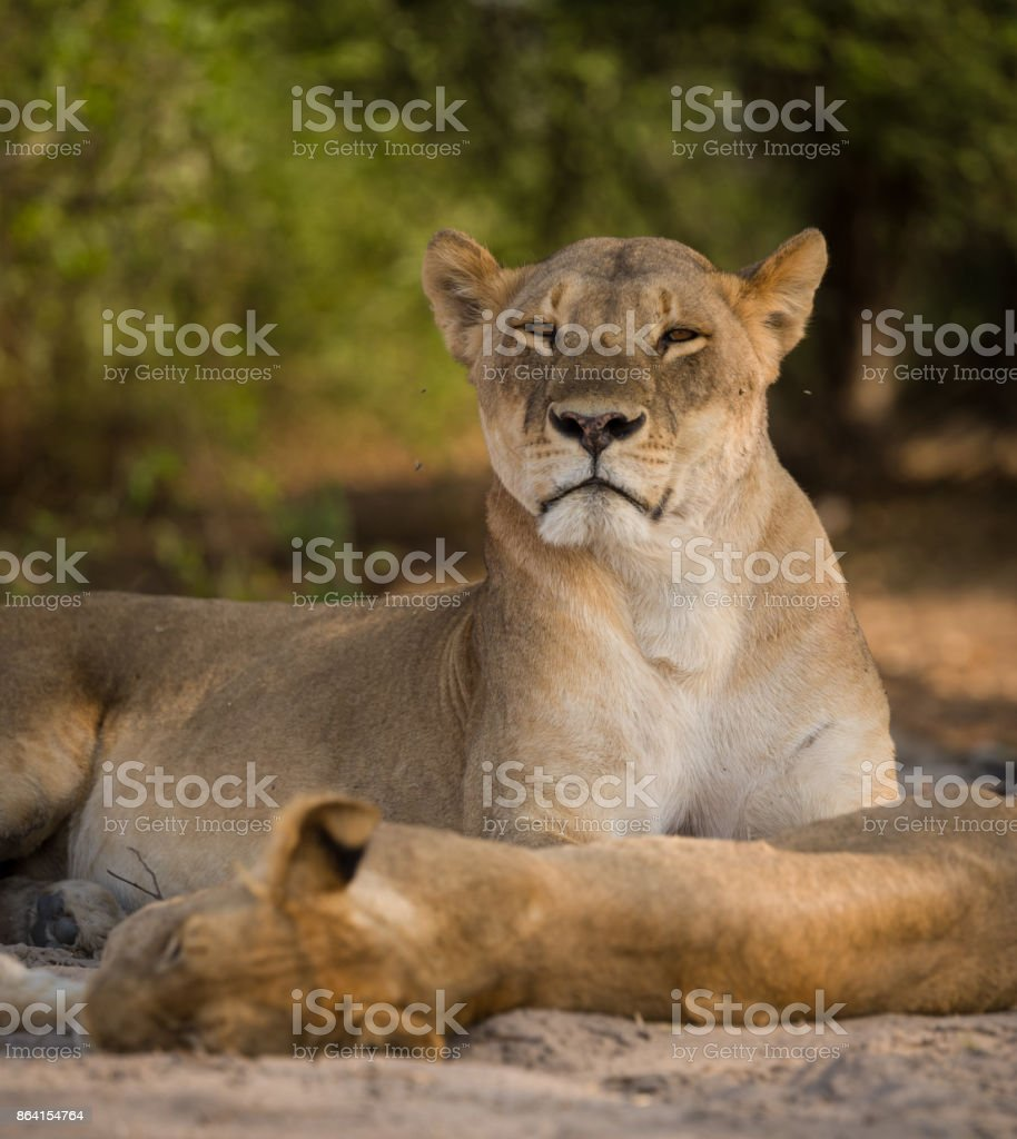 a pride of lions resting in the heat of the day, Chobe National Park, royalty-free stock photo
