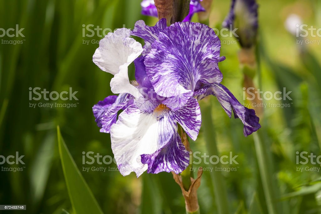 a purple and white iris blossom in the spring stock photo