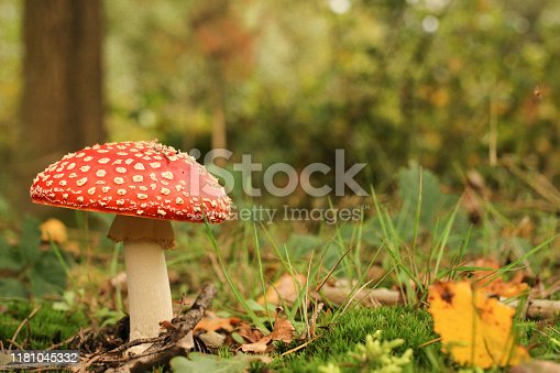 a beautiful red fly agaric mushroom closeup in a green forest
