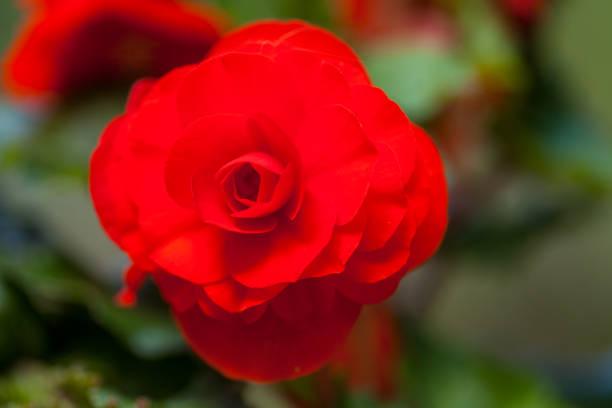 een rode roos op groene tuin achtergrond foto