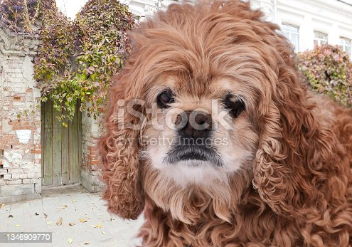 istock a red-haired little curly dog of the poodle breed sadly looks against the background of the old fence of an old mansion entwined with autumn ivy 1346909770