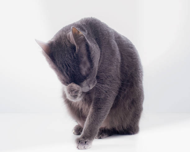A russian blue cat pondering with its feet on its face picture id1215110292?b=1&k=6&m=1215110292&s=612x612&w=0&h=i zd5pe4iw7mst0wvrojymq7ngvecnnortj8pvozpkm=