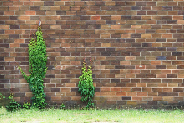 a rustic aged weathered faded brown brick garden wall with thick wild green grass summer ivy perfect for background marketing material as well as wallpaper card poster backdrop stock photo