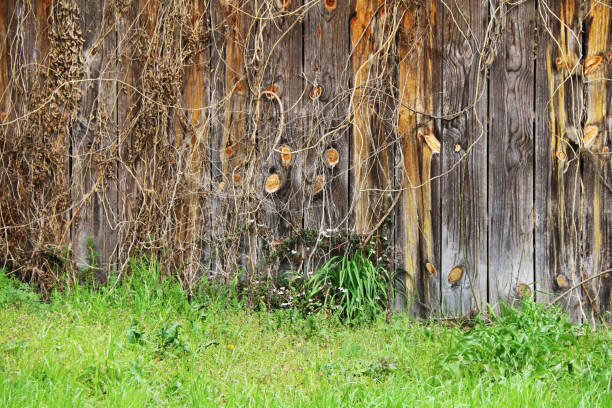a rustic aged weathered natural wood garden fence lined with thick wild green grass and autumn ivy perfect for background marketing material as well as wallpaper card poster backdrop stock photo