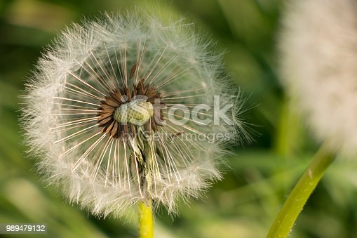 istock a sense of freedom - at the sight of this dandelion 989479132