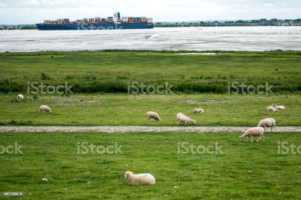 a sheep herd on a meadow stock photo