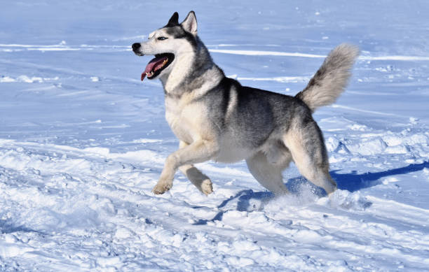 A siberian husky breed dog runs through the snow picture id930546406?b=1&k=6&m=930546406&s=612x612&w=0&h=c8rbxyok sxiohv1vtklut1h392oh3loexv3lssjagi=