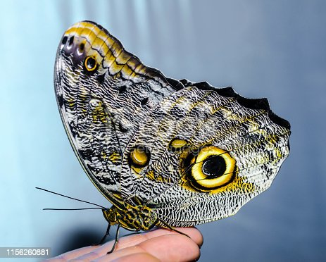 a silvery-yellow big butterfly sits folding its wings on a human open palm on a gray-blue background
