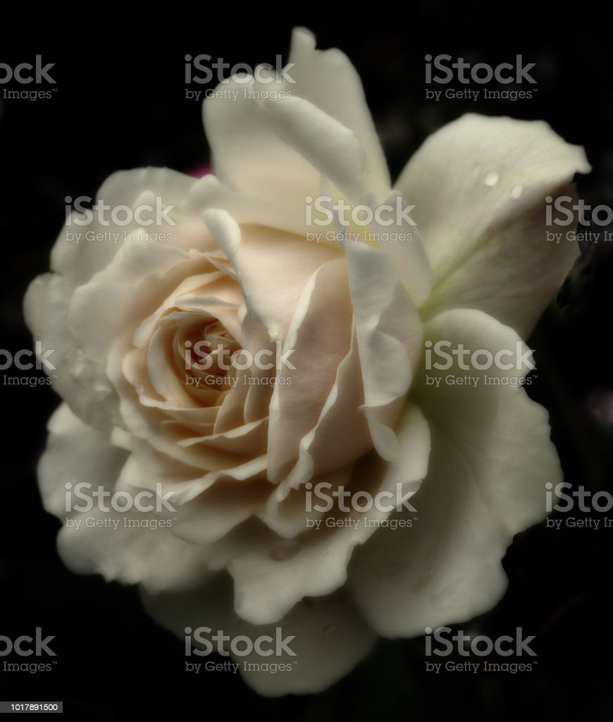 a single cream colored sepia tinted rose with raindrops in close up on a black background stock photo