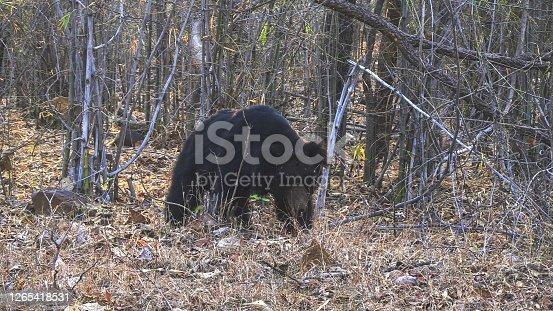 a sloth bear walking in tadoba andhari tiger reserve in india
