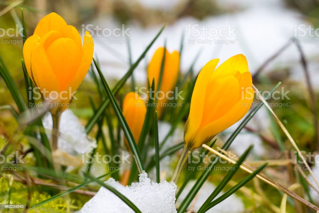 a small bush of yellow crocus is blooming, though the meadow is still snowy stock photo