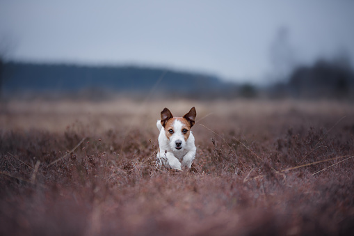 A Small Dog Runs In A Heather Field Stock Photo - Download Image Now