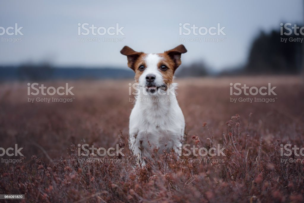 a small dog runs in a heather field - Royalty-free Agricultural Field Stock Photo