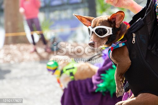 a small dog with sunglasses on that is being carried in a front halter carrier at a Mardi Gras Parade