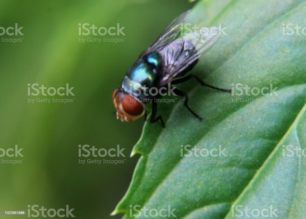 A Small Flying Insect Common House Fly Seen On A Green Leaf