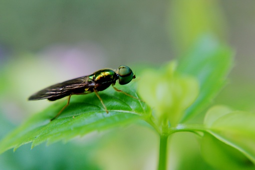 a small flying insect seen on a green leaf in a home garden in  Sri Lanka