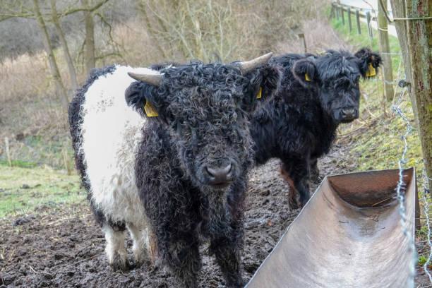 Eine kleine Galloway-Kuh – Foto