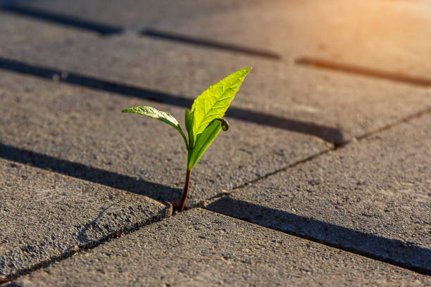 a small plant with green leaves grows on a paved sidewalk A small plant with green leaves grows on the sidewalk. Germinating plant in paving slabs in the morning sunlight. business startup concept persistence stock pictures, royalty-free photos & images