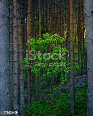 a small tree with green leaves surrounded by pine trees and sunshine in the background