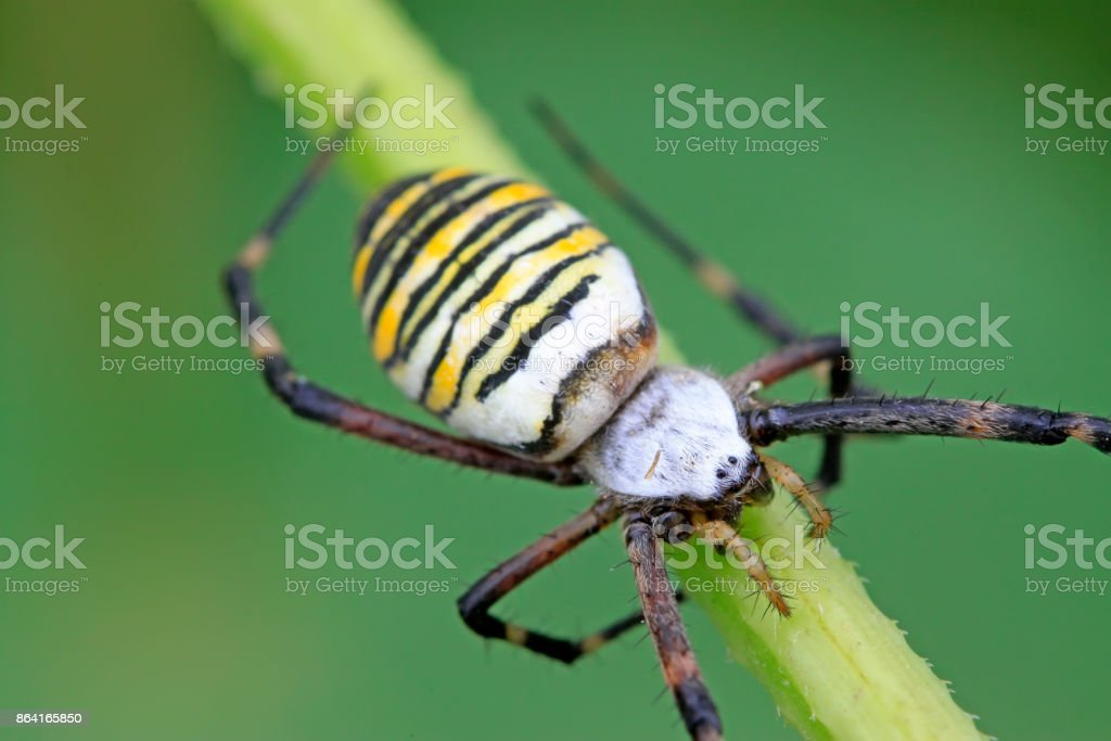 a spider insects perched on a spider web royalty-free stock photo