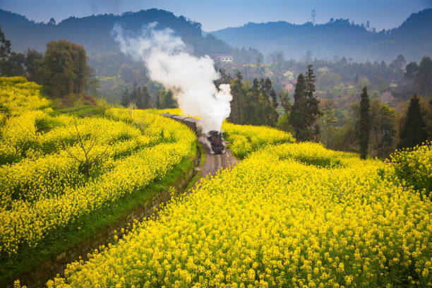 a steam train passing through a sea of rapeseed flowers stock photo