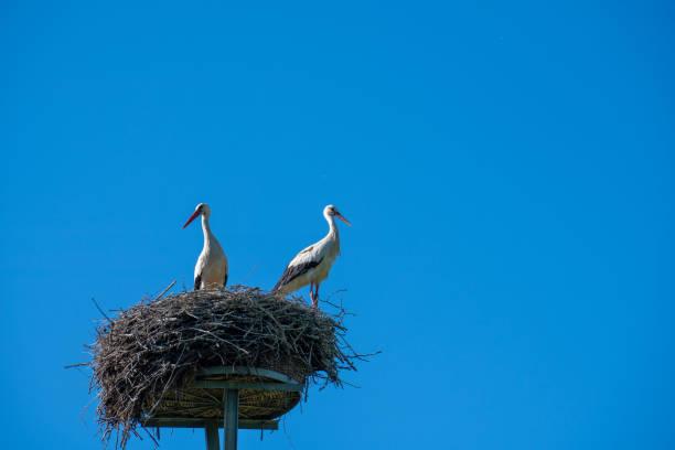 Ein Storchenpaar steht im Frühjahr im Nest – Foto
