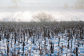winter morning in a snowy landscape with wilted sunflowers in a field and bare trees in misty background
