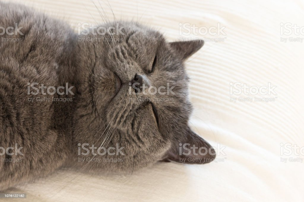 a sweet british shorthair cat is sleeping and dreaming on the Couch....