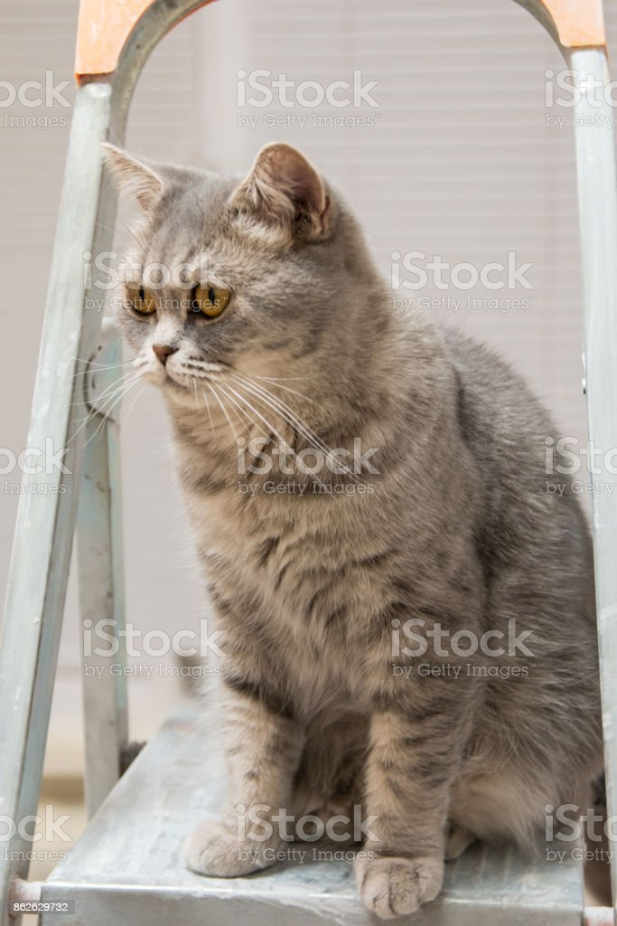 a thoroughbred gray British Whiskas cat sits on the stairs stock photo