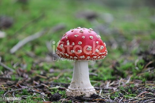 a young tiny red fly agaric toadstool closeup in the forest in autumn
