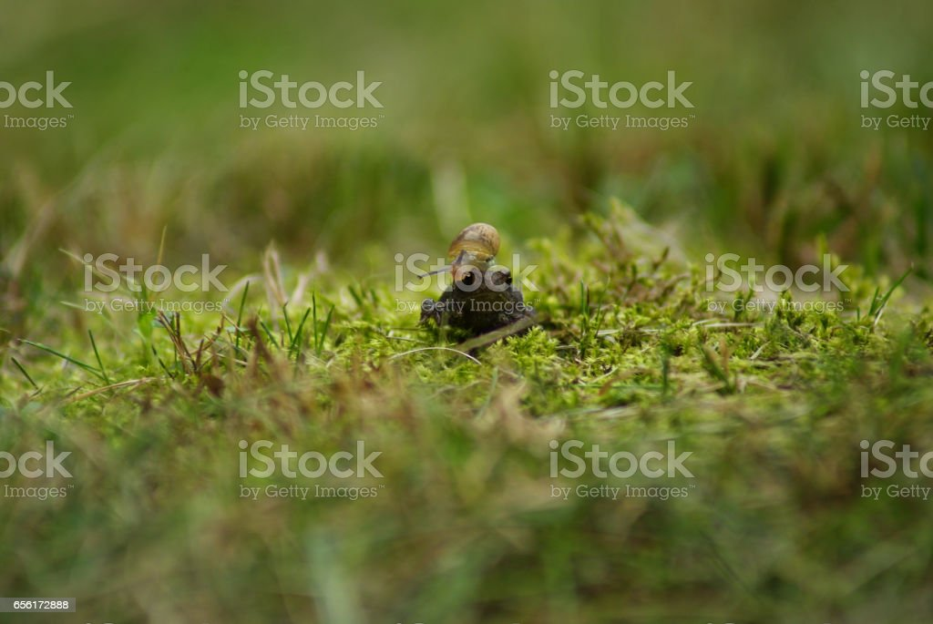 a toad giving a lift to a snail stock photo