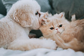 istock a toy poodle licking on a cat on bed making friends while the cat ignoring the irritating puppy 1226688509